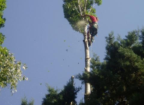Élagage d'un arbre devenu dangereux