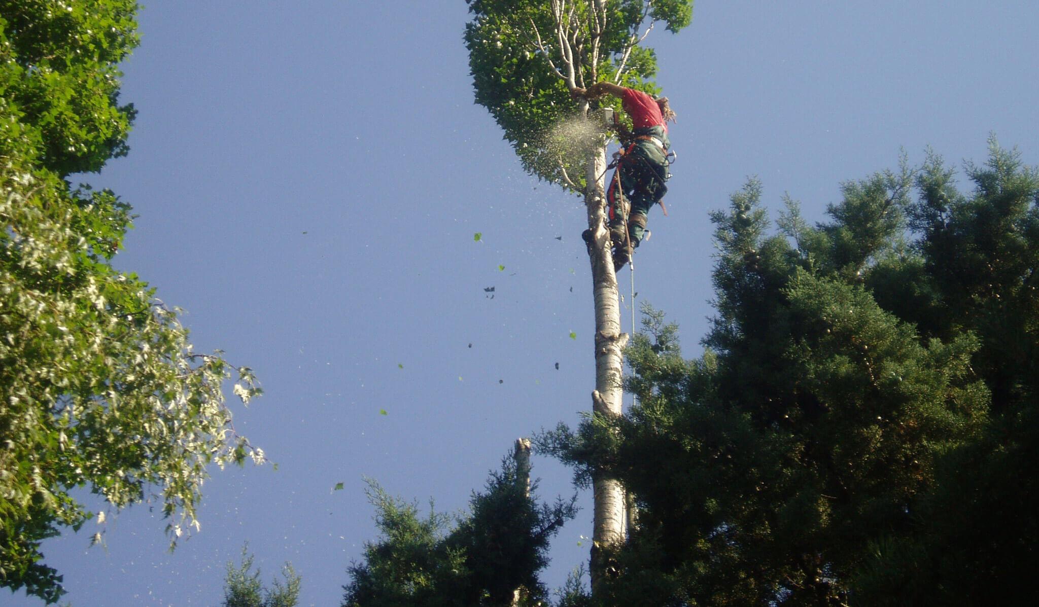 Lagage d un arbre devenu dangereux projardins for Prix de l elagage d un arbre